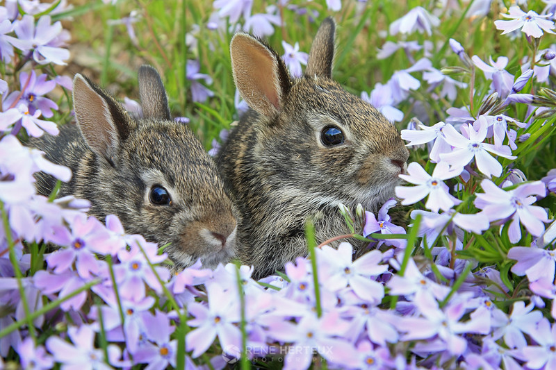 Bunnies in phlox