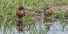 Cinnamon Teal pair, Malheur NWR