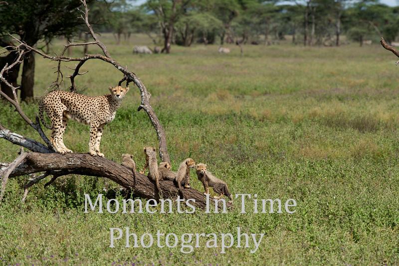 adult facing cubs