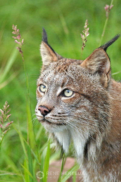 Lynx, northern MN