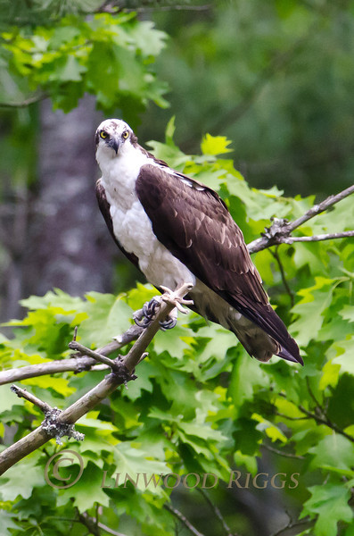 An Osprey perches alongside a stream in Damariscotta Mills