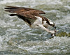 An Osprey dives into the water at Damariscotta Mills, Maine - May 2010