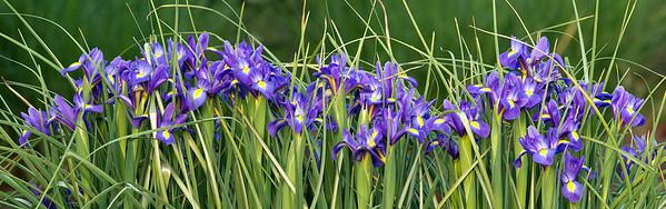 Irises, JC Raulston Arboretum, Raleigh, NC, April 2013