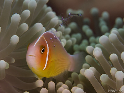 Sarasvati Anemone Shrimp on top of a Pink Anemonefish