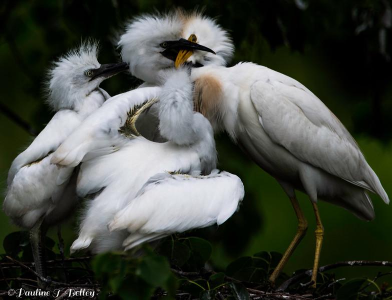 DSC_0014 Cattle Egrets Post