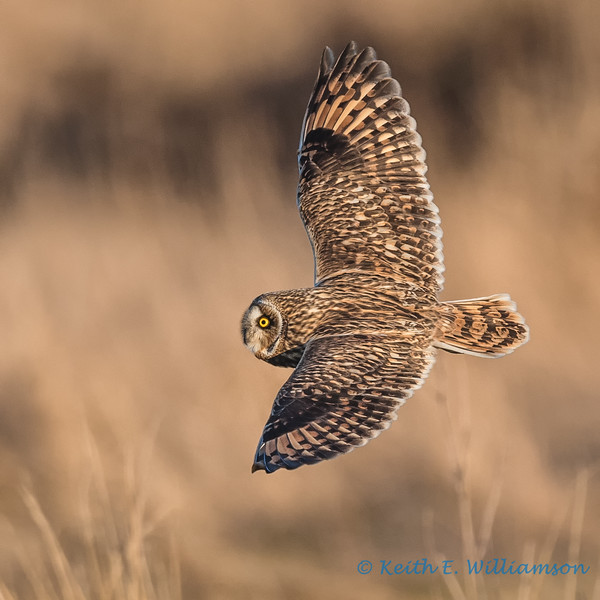 Short-eared Owl - 20