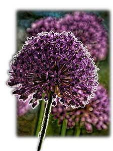 Allium (Pop-out)