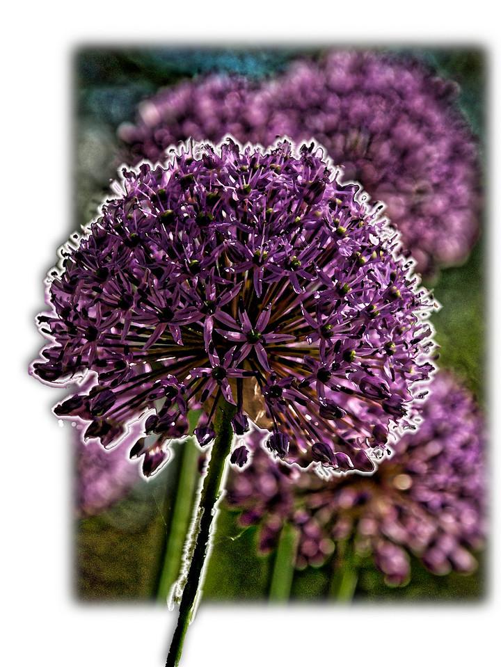 Allium (Pop-out)