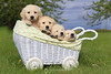 Puppies in a buggy