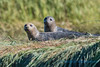 Seals, Skagit Wildlife Area