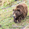 Grizzly bear in Denali National Park, Alaska.