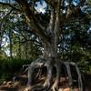Cypress Tree 1 Post