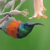 Greater Double-collared Sunbird, Cinnyris afer, Sani Lodge Backpackers, KwaZulu-Natal, Südafrika, Underberg, Drakensberg Mountains, South Africa