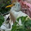 DSC_0934 Egret