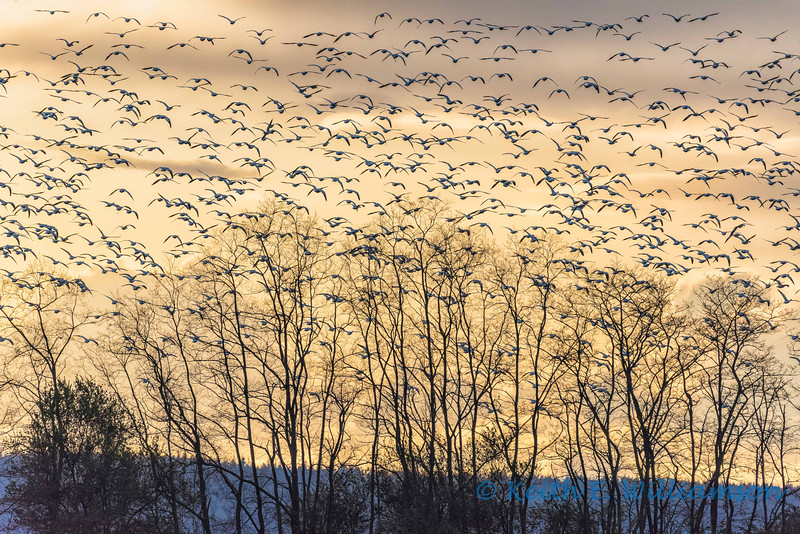 Snow Geese, early spring, Fir Island
