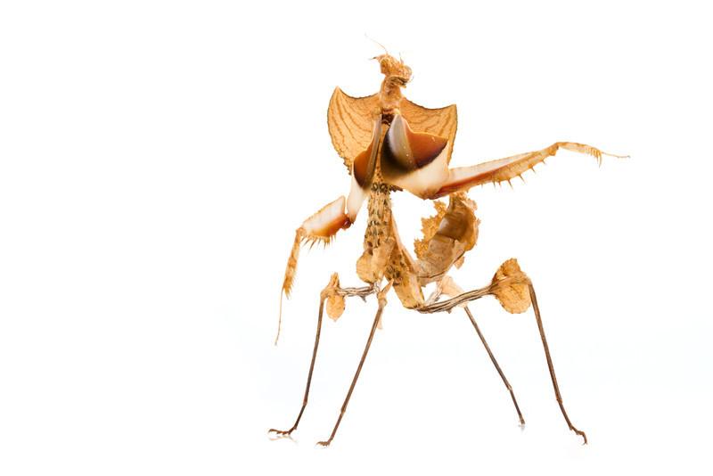 Devil mantis (Idolomantis diabolica) from East Africa