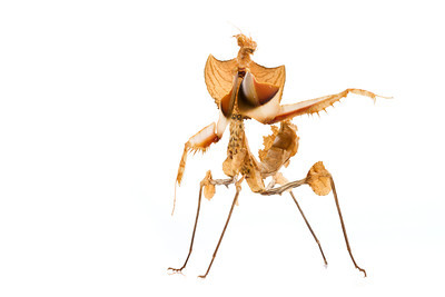 Devil mantis (Idolomantis diabolica) from East Africa