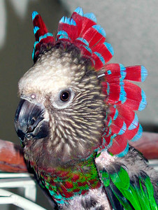 Radar (Hawkheaded Parrot)