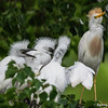 DSC_0046 Egret
