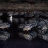 Predawn Sandhill Cranes at rest