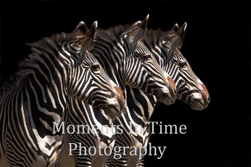 Zebras in sync