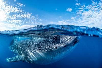 Whale shark split IV - Isla Mujeres, Mexico 2019