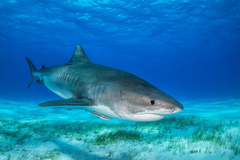 Tiger Shark I - Tiger Beach, Bahamas 2021