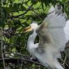 DSC_0907 Egret