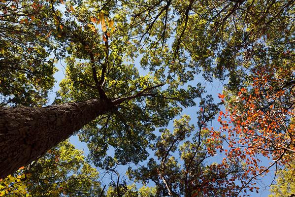 White Oak (Quercus alba [Fagaceae]) Canopy, Tyson Forest Dynamics Plot