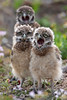 Stuck in the middle - Burrowing owl babies