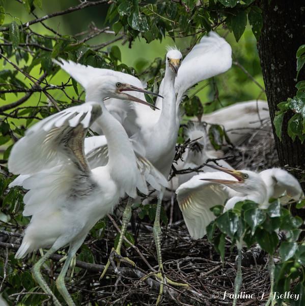 DSC_0912 Egret