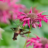 Hummingbird Moth and Fading Bee Balm