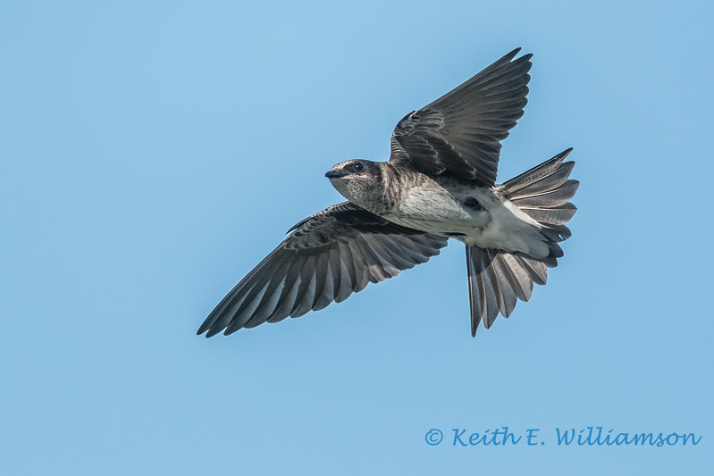 Purple Martin, female 5