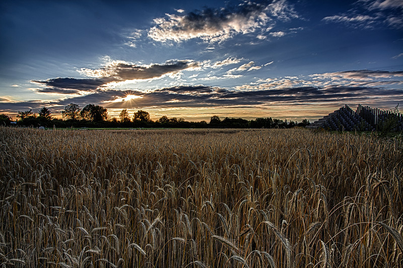 wheat field near the Neuhof Golf club - near Frankfurt Germany