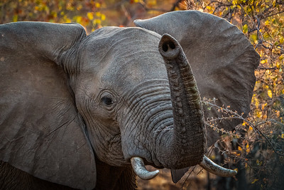 Africal Elephant