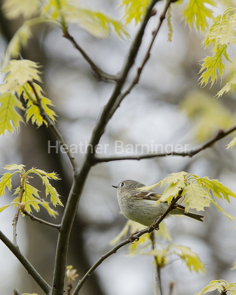 A Benevolent Face Looks Upon a Kinglet