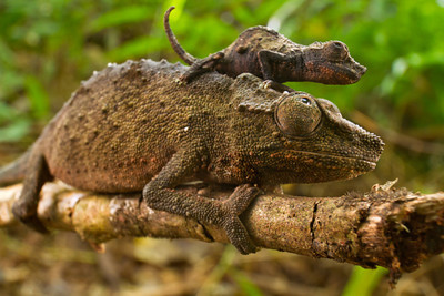 Pygmy Mt. Gorongosa chameleons (Rhampholeon gorongosae) - a mother with her baby