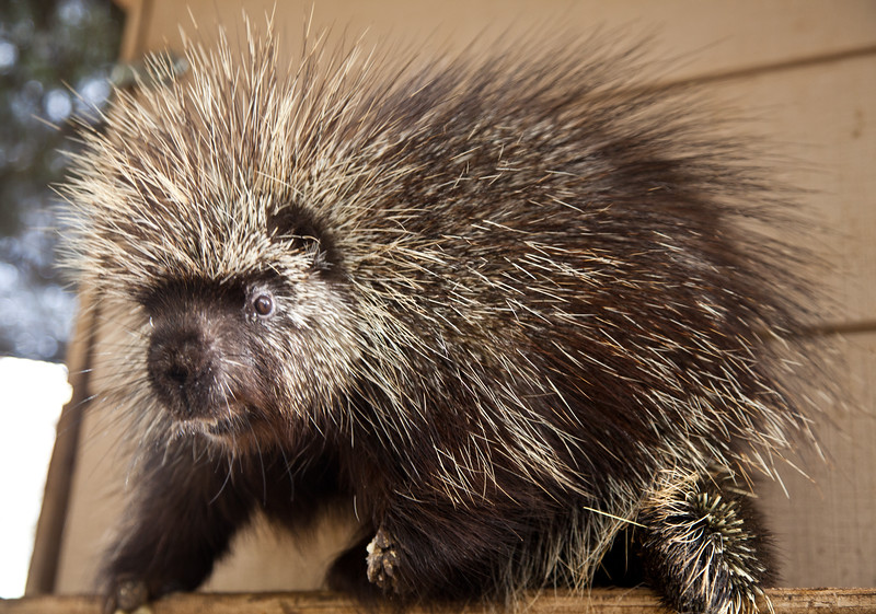 A friendly porcupine living at the Southwest Wildlife Conversation Center.  They are the third largest rodent.