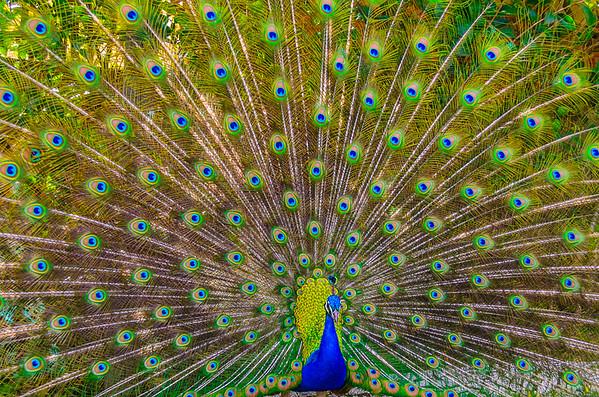 Original Peacock Fine Art Photography By Messagez com