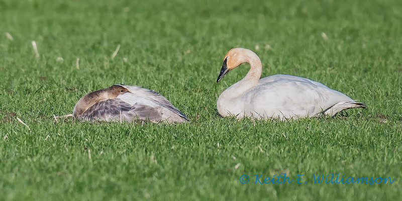 Trumpeter Swan, parent and child