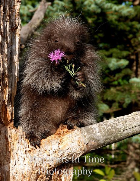 Porcupine with purple flower