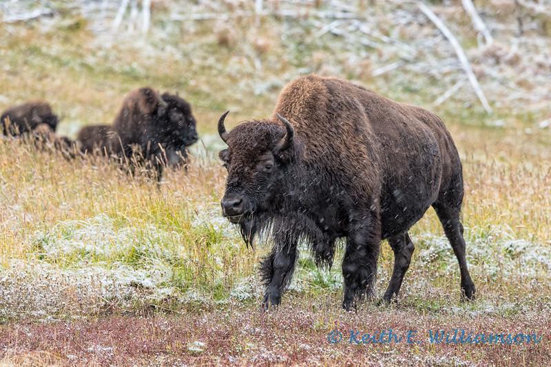 Bison, Yellowstone NP