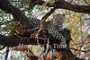 Leopard African (Panthera pardus)