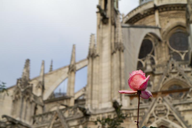 A rose found behind Notre Dame