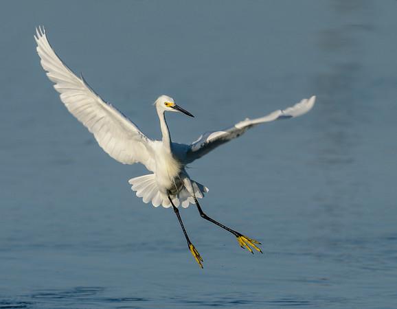 HAppy Snowy Egret