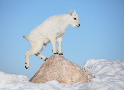 Baby Mountain Goat on a Rock, Mount Evans, Colorado