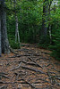Path with roots and pine needles, Lutsen MN