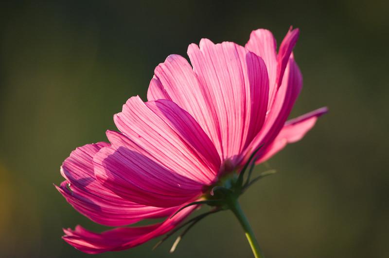 Golden light in pink petals