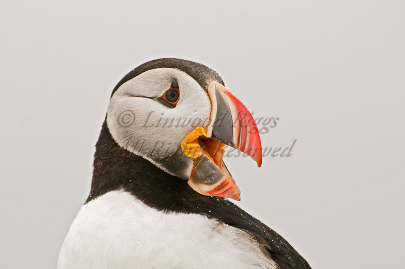 Atlantic Puffin at Machias Seal Island, off the Downeast coast of Maine.