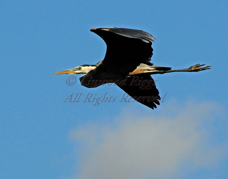A Great Blue Heron flies above the Kennebec River in Augusta, Maine.